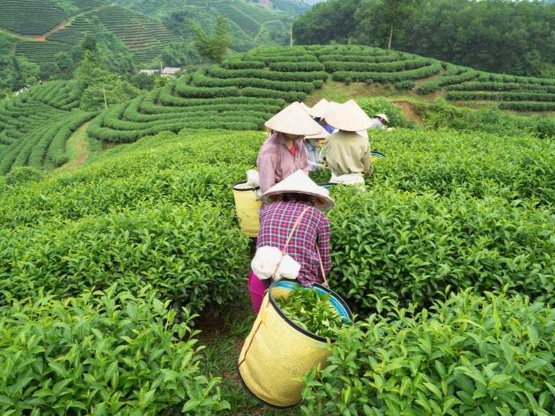 Hình ảnh hái trà ở Thái Nguyên
