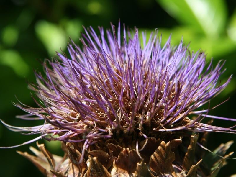 Hoa atiso cũng là nguyên liệu tuyệt vời để làm siro.
